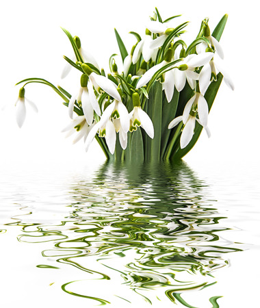 snowdrop flowers on a white background Stock Photo