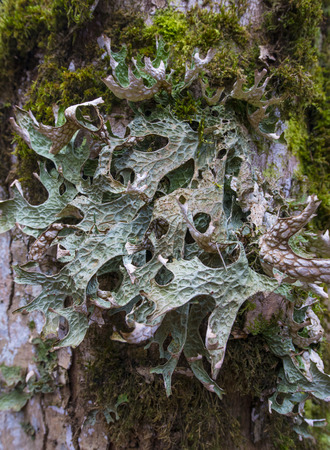 moos: moos and licens (Cetraria islandica) on a bark - macro detail Stock Photo
