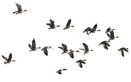 een zwerm ganzen Anser albifrons