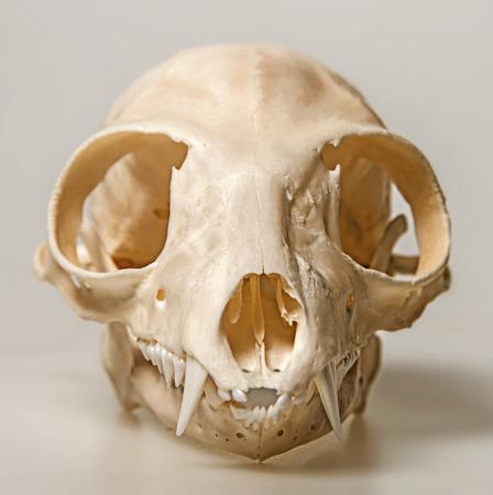 catta: skull of Lemur catta