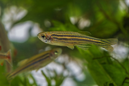 danio rerio: Danio rerio aquarium fish