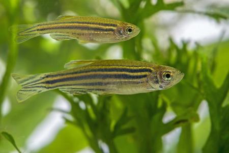 Danio rerio aquarium fish
