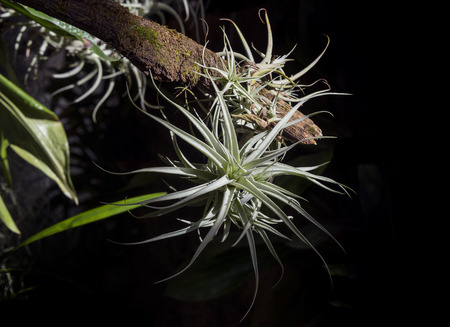 tillandsia: tillandsia on a branch