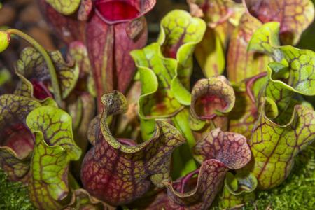 insectivorous plants: sarracenia purpurea Stock Photo