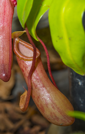 insectivorous plants: nepenthes - pitcher plant