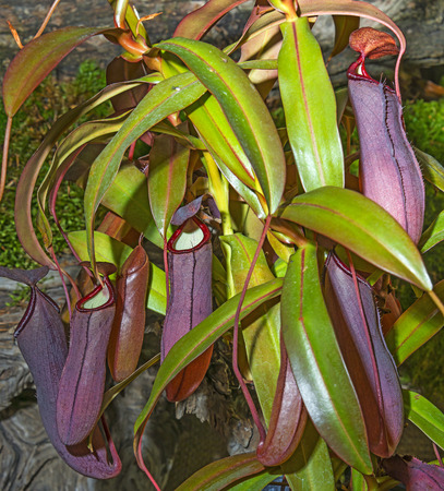 insectivorous plants: nepenthes Stock Photo