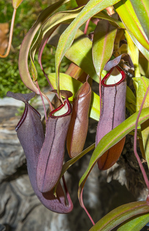 insectivorous: nepenthes - pitcher plant
