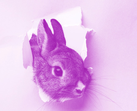 a little rabbit looks through a hole in paper photo
