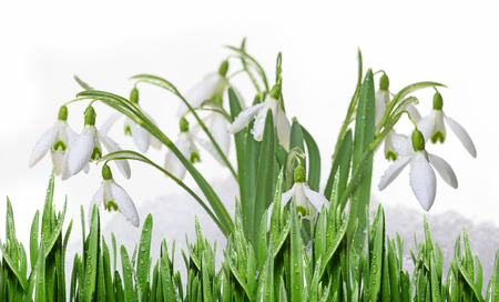 snowdrops in snow isolated on white background photo