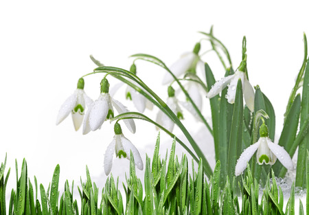 snowdrops: snowdrops in snow isolated Stock Photo