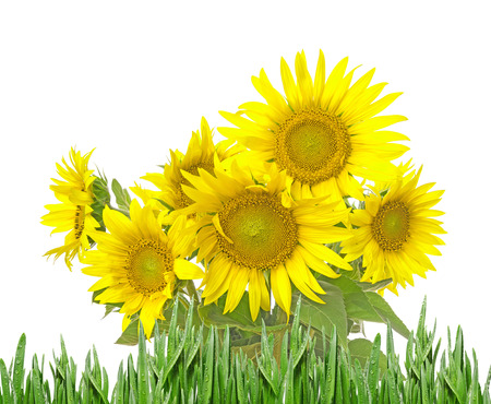 bunch of: bunch of sunflowers isolated Stock Photo