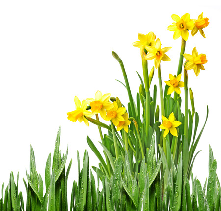 daffodils in a flower pot photo