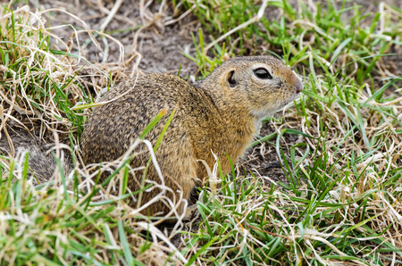 ground squirrel on a meadow photo