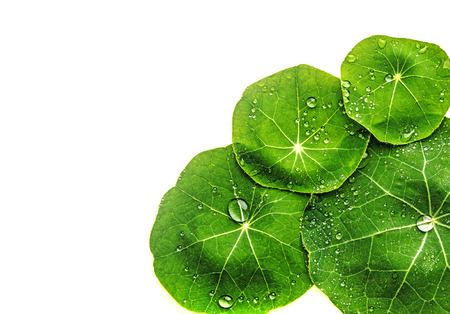 dewy: dewy leaves