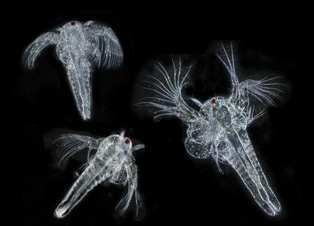 salina: Artemia salina (photography from microscope 50x)