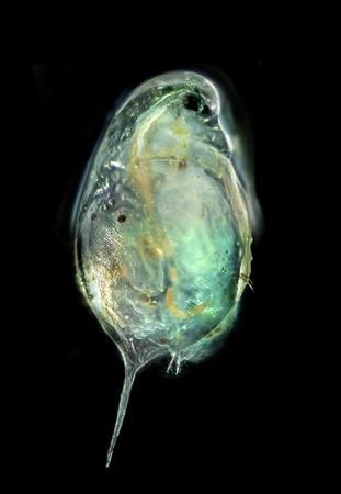 plancton: Cladocera - dafnias (fotografía de 50x microscopio) Foto de archivo