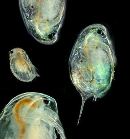 Cladocera -  daphnia head (photography from microscope 100x) Reklamní fotografie - 38961834