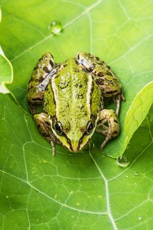 dewy: rana esculenta - common european green frog on a dewy leaf