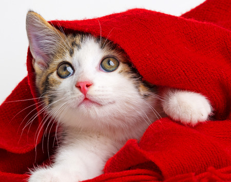 red scarf: cute kitten playing with a red scarf Stock Photo