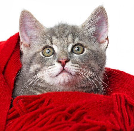 red scarf: cute kitten with a red scarf