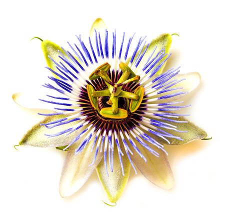 passiflora: Passion  flower - passiflora Stock Photo