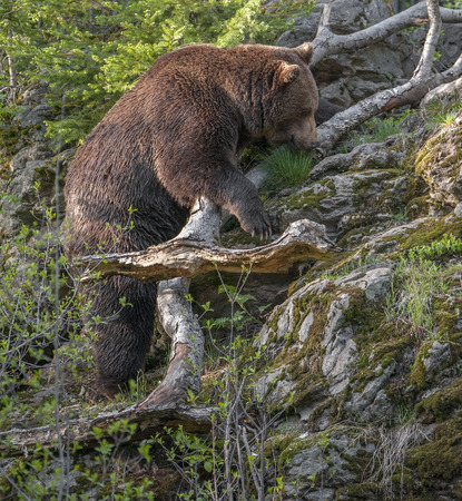 brown: brown bear