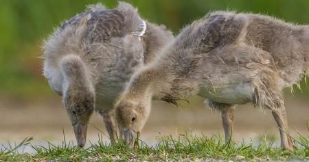 anser: goose (Anser anser) - Lake Neusiedl