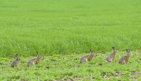 liebre: liebre - Lepus europaeus