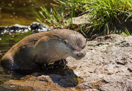 otter: otter - Lutra lutra in water
