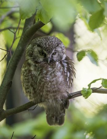 pygmy: pygmy owl - Glaucidium passerinum Stock Photo