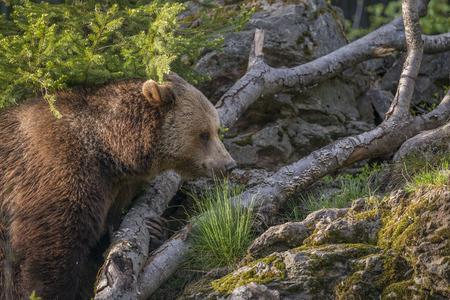 arctos: brown bear - Ursus arctos