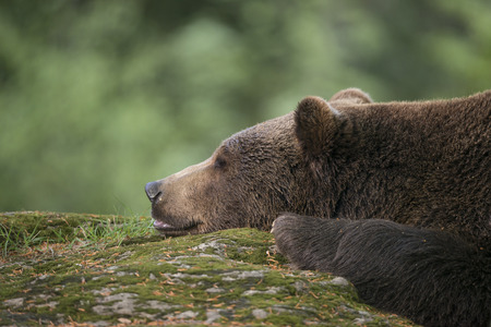 arctos: orso bruno - Ursus arctos