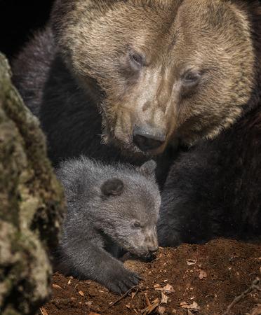 dangerous love: brown bear - Ursus arctos