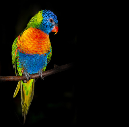 green parrot: rainbow lorikeet parrot isolated on a black background Stock Photo