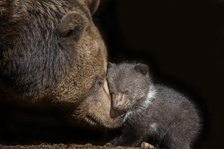 ヒグマ - Ursus arctos
