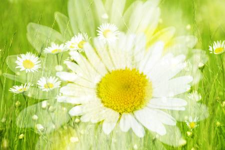 daisy flower: daisy flowers