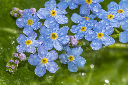 forget: Forget me not flower with rain drops Stock Photo