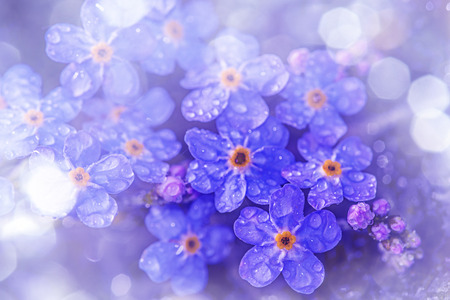 forget me not: Forget me not flower with rain drops Stock Photo