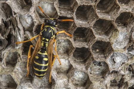 vulgaris: a wasp nest (Vespula vulgaris)