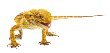 bearded dragon: Bearded dragon - Pogona vitticeps on a white background