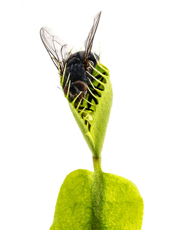 fly: Venus flytrap - dionaea muscipula with trapped fly