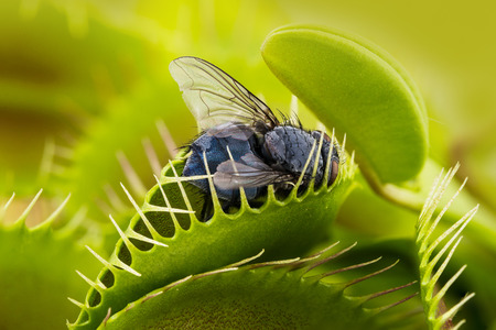 white fly: Venus flytrap - dionaea muscipula with trapped fly