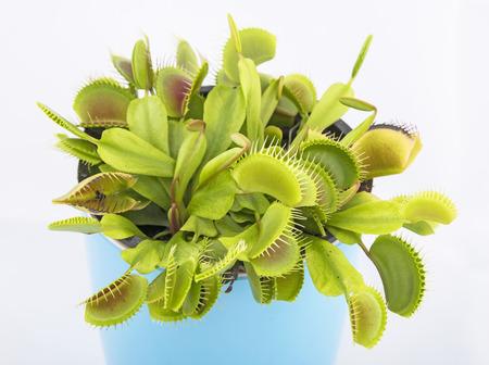 Venus flytrap - dionaea muscipula Reklamní fotografie