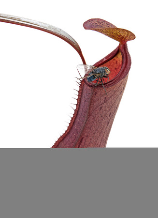 carnivore: carnivore plant  Nepenthes in detail