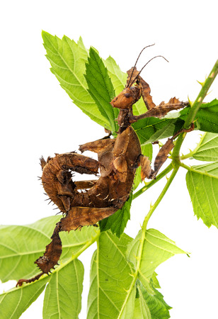 spiny: Extatosoma tiaratum tiaratum - spiny leaf insect