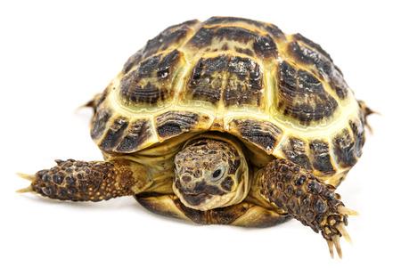 TORTOISE: tortoise - testudo horsfieldii