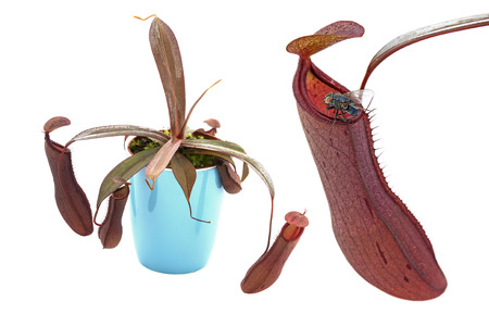 nepenthes: pitcher plant  Nepenthes