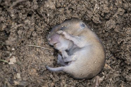 vole: little vole Microtus arvalis