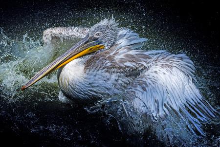 pelecanus: a pelican bathing  - Pelecanus philippensis