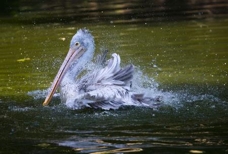 bather: a pelican bathing  - Pelecanus philippensis